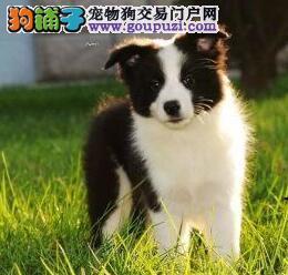 杭州CKU认证品质的边境牧羊犬低价直销 低价格高品质