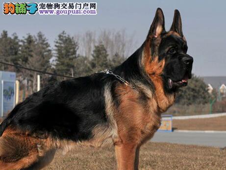 促销价出售郑州德国牧羊犬 大头锤系欢迎当面挑选
