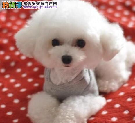 北京买家养泰迪小体贵宾犬纯韩系茶杯泰迪幼犬