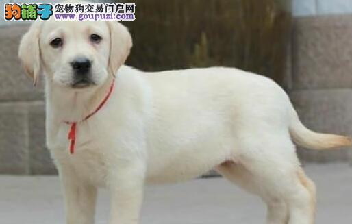 杭州养殖基地出售冠军种犬后代拉布拉多犬 签售后合同