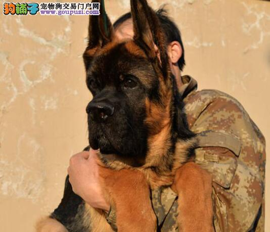 贵族纯正德国牧羊犬 纯种健康品相优良 喜欢加微信