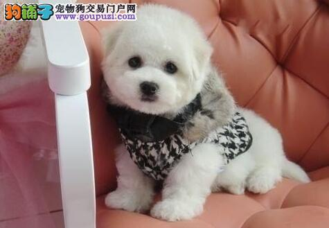 出售经典极品杭州小体比熊犬 无体臭无杂毛 欲购从速
