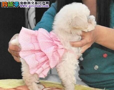 性格十分活泼的杭州贵宾犬低价出售 疫苗驱虫已做好