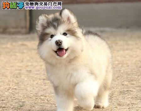 出售高品质阿拉斯加雪橇犬宝宝,瞧一瞧哦!