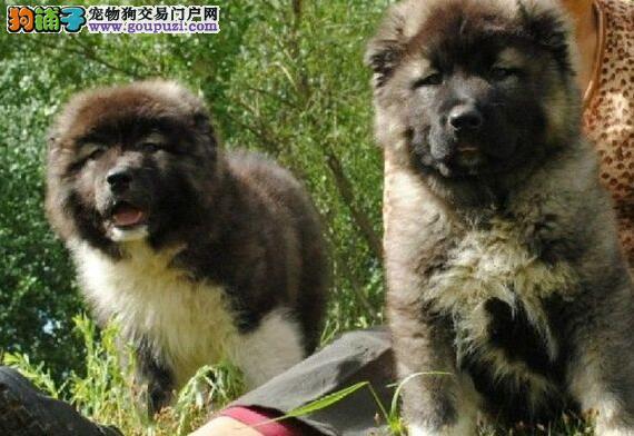 高加索原生态原生态顶级护卫犬赛品高加索宝宝低价出售