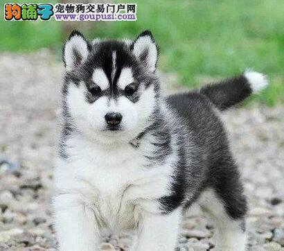 纯种三把火蓝眼睛哈士奇 北京可送上门欢迎来犬舍挑选