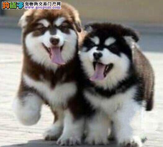 100%纯种健康的安康阿拉斯加犬出售终身完善售后服务