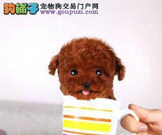 专业繁殖出售纯种韩系深圳泰迪犬 可终身免费打疫苗