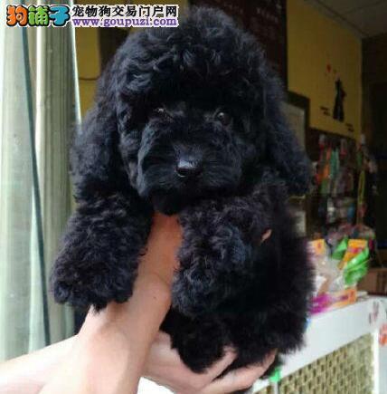 狗场特价直销纯种韩系茶杯玩具贵宾犬