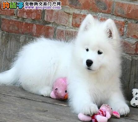 转让雪白色微笑天使般的贵阳萨摩耶 欢迎上门看种犬