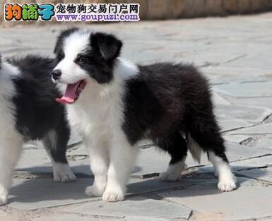 家养全到位智商排名世界第一的边境牧羊幼犬