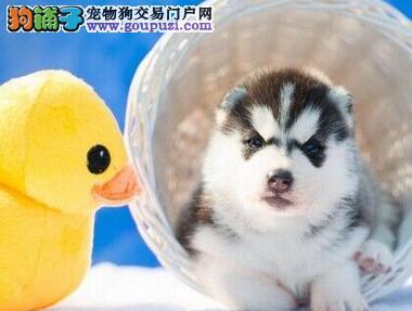 广东实体店出售精品哈士奇保健康血统证书芯片齐全