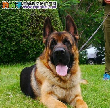 转让大嘴宽脸黑背 品相极佳的广州德国牧羊犬