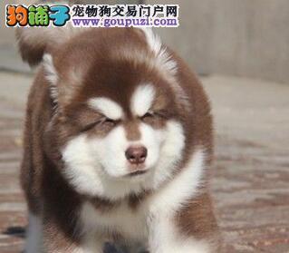 百分百健康纯种阿拉斯加犬北京热卖中上门可见父母