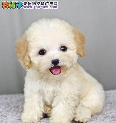 济南自家繁殖的泰迪犬找新家 上门选购可看种犬