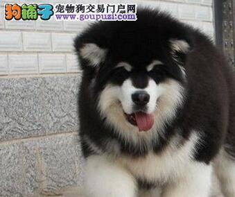 出售阿拉斯加犬幼犬品质好有保障当日付款包邮
