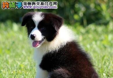 极品边境牧羊犬幼犬,保证品质一流,讲诚信信誉好