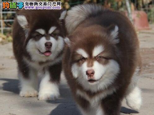 出售大骨量熊版西安阿拉斯加幼犬 2~4窝可以挑选