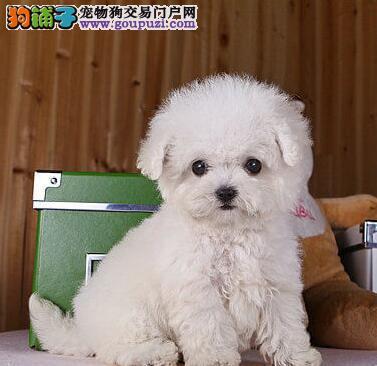 活泼可爱泰迪幼犬盐城出售 品质优良 专业喂养精心繁殖
