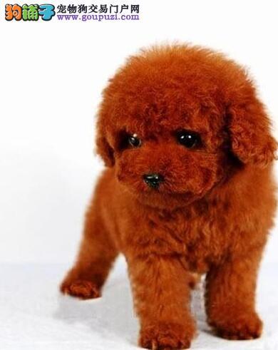 CKU犬舍认证绵阳出售纯种贵宾犬我们承诺终身免费售后