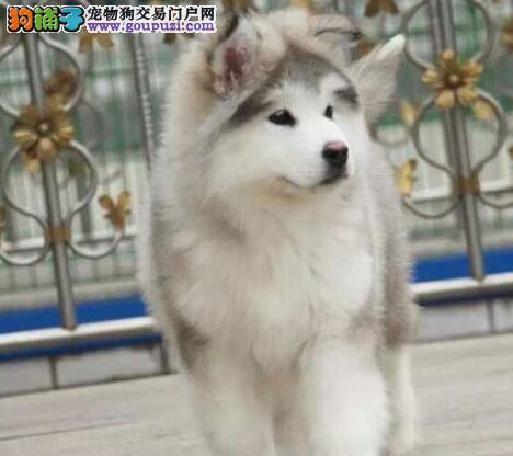热销多只优秀的纯种郑州阿拉斯加犬带血统证书签活体协议