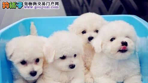 公母均有的广东比熊找爸爸妈妈签订合法售后协议