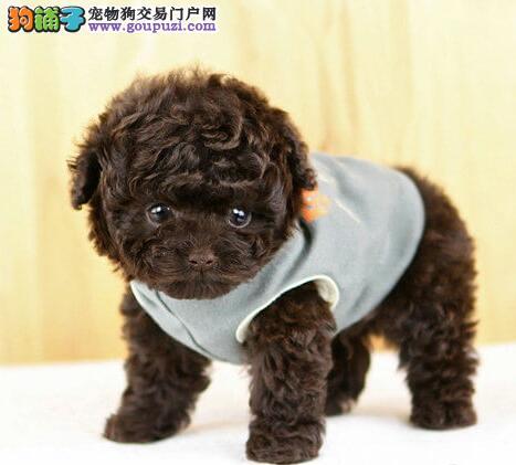 宠物协会指定销售泰迪宝宝,健康保障3个月包退终生服务