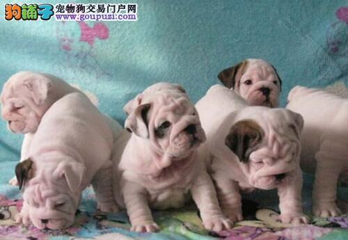 出售纯种健康的东莞斗牛幼犬 保健康保纯种保售后