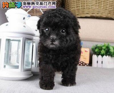 出售纯种贵宾犬 真实照片视频挑选 寻找它的主人