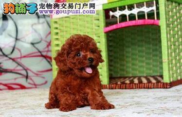 萍乡自家狗场繁殖直销泰迪犬幼犬期待您的光临
