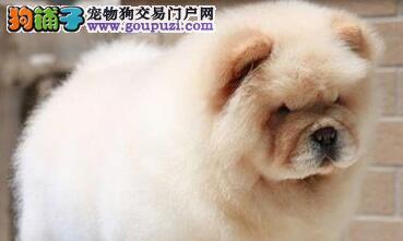 昆明高端犬舍出售美系松狮宝宝 紫色舌头毛量丰厚