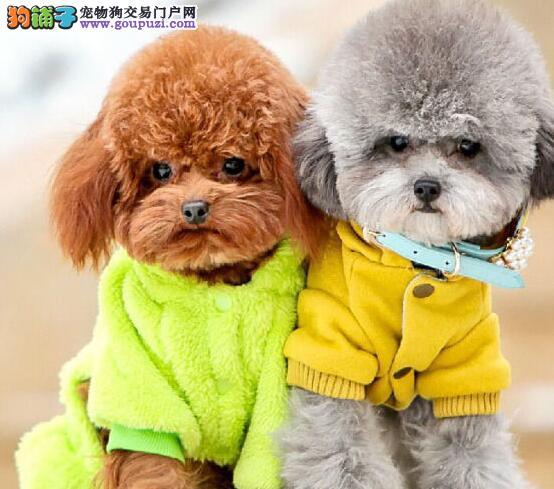 昆明犬舍出售顶级泰迪犬 欢迎上门挑选 可签合同刷卡