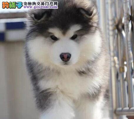 精品双十字阿拉斯加雪橇犬上海犬舍出售 可办空运