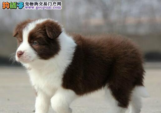 三通七白到位的广州边境牧羊幼犬出售中 可来犬舍挑选