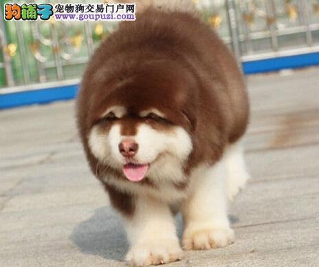 赛级犬冠军血系纯种阿拉斯加雪橇犬