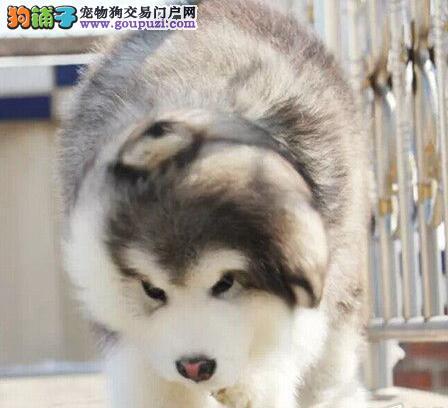 标准巨型黑色十字脸阿拉斯加幼犬质保终身健康
