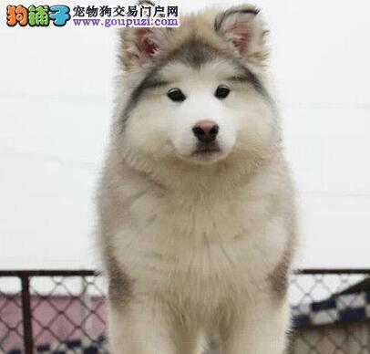 品相一流的哈尔滨阿拉斯加犬找新家 喜欢的朋友不要错过
