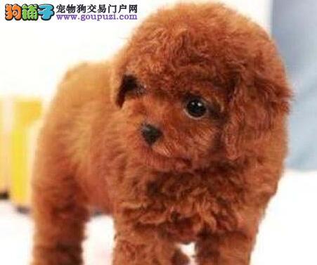 南京家养赛级贵宾犬宝宝品质纯正欢迎您的光临