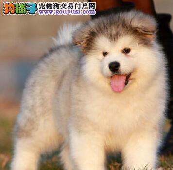 极品双十字天津阿拉斯加雪橇犬直销 可办理血统证书