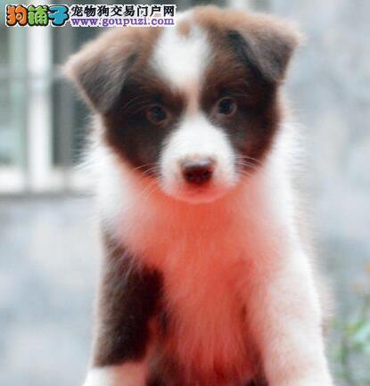 精品边境牧羊犬特价出售 来哈尔滨购买可免费送货