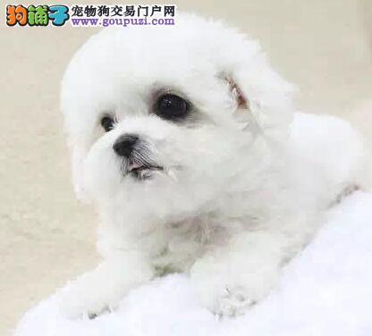 专业狗场出售哈尔滨比熊犬 已做驱虫疫苗有检疫证明
