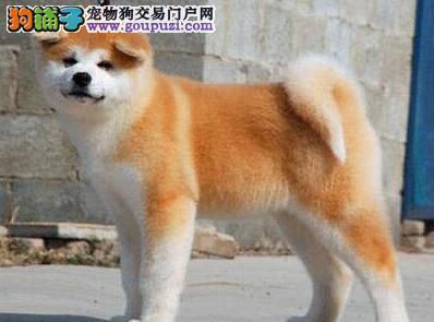 哈尔滨犬舍出售纯种秋田犬 均有血统证书价格可面议