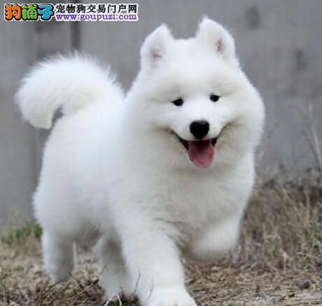 纯白如雪甜美可爱 纯种萨摩耶犬淄博出售 品质绝对保证