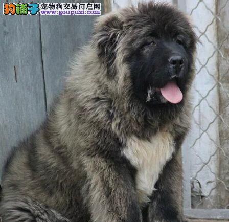淄博出售纯种高加索幼犬 骨骼粗毛量足 有多条挑选
