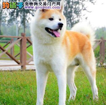 冠军级后代秋田犬,金牌店铺品质保障,绝对信誉保证