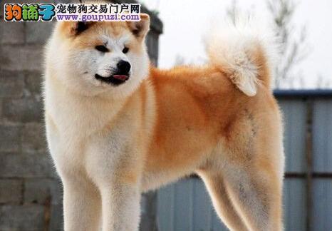 纯种秋田犬幼犬,纯度好100%健康,签署合同质保