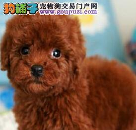珠海实体狗场直销实物拍摄的贵宾犬 可送货可刷卡