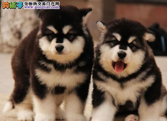 黔南州出售阿拉斯加犬公母都有品质一流黔南州周边免费送货