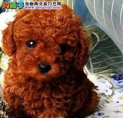 果洛州出售泰迪犬颜色齐全公母都有最优秀的售后