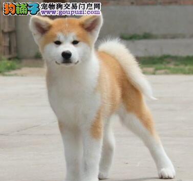 顶级优秀的日系纯种秋田犬直销出售 福州地区最低价